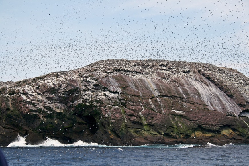 Despite seeing dozens of Humpback Whales off Cape Spear, we were surprised at a lack of whales during our boat trip at Witless Bay Ecological Reserve. However, we were far from disappointed since our extended tour of the seabird colonies took us to Green Island, where tens of thousands of birds were circling around the cliffs and over our heads. Truly awe-inspiring!