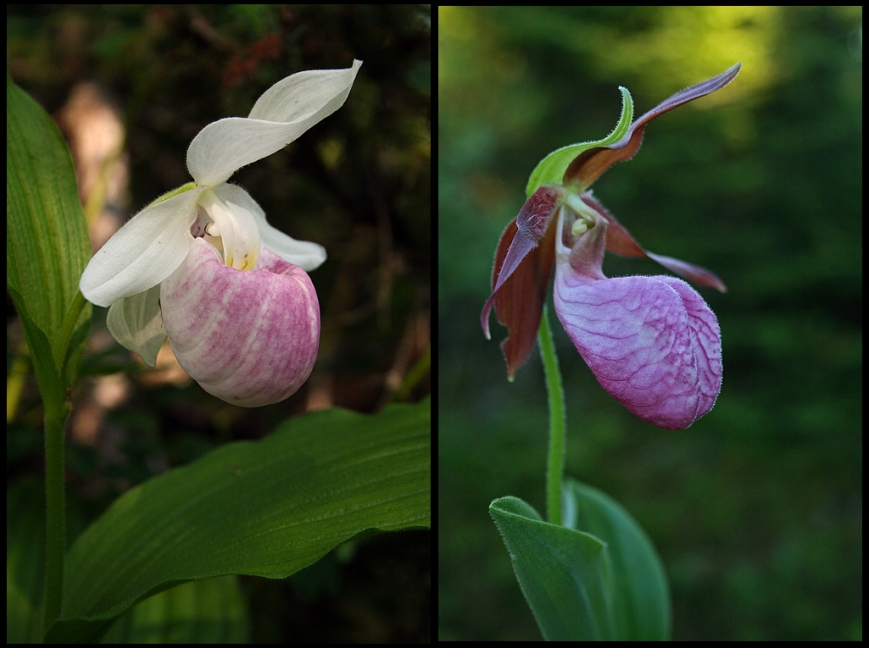 Pink Lady Slippers (Cypripedium acaule; right) are among the most well known orchids, growing among low shrubs and clearings woods across the island. Showy Lady Slippers (Cypripedium reginae; left) is much less common, bordering on rare. This one was growing near Lomond in Gros Morne National Park.