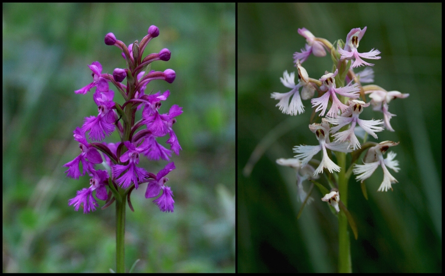"Purple Fringed Orchid (Platanthera psycodes) is a beautiful flower that growd in wet meadows and bogs. ""Andrew's Orchid"" (Platanthera x andrewsii) is a stunning hybrid between Purple-fringed and Ragged Fringed Orchids."