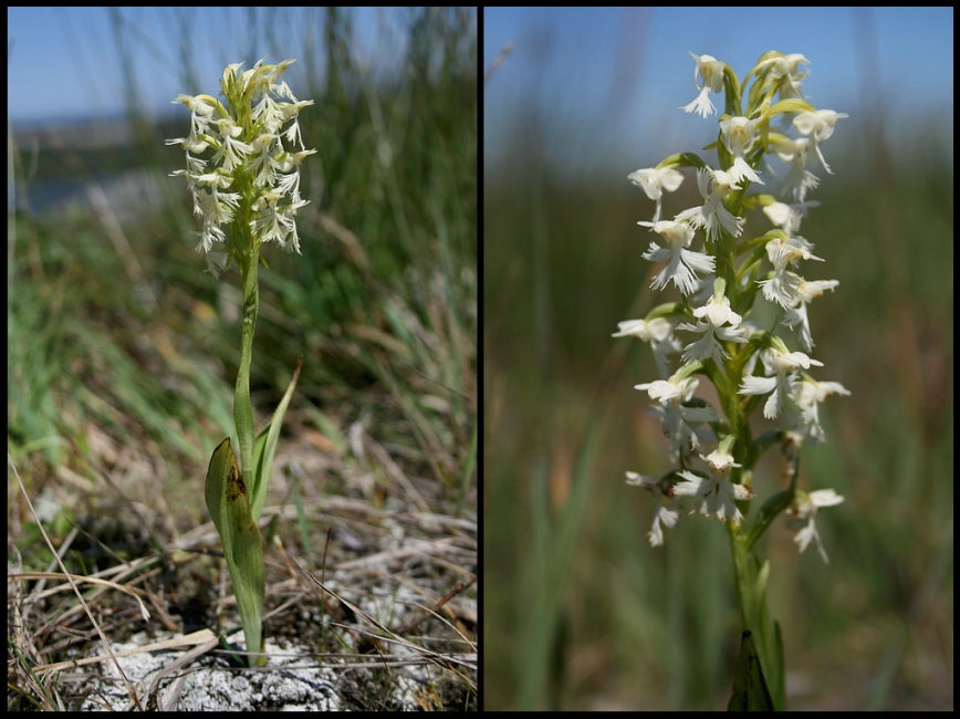 Ragged Fringed Orchid (Platanthera lacera) is an uncommon orchid that occurs throughout much of Newfoundland. Its greenish-white flowers have a more ragged fringe than its relatives below.