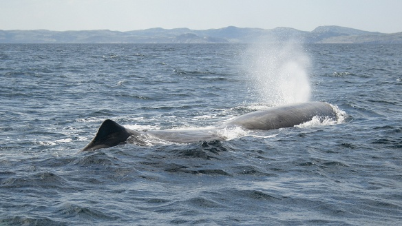 Sperm Whales are unique in that their blowhole is located on the left side of their head, producing a distinctively angled spout.