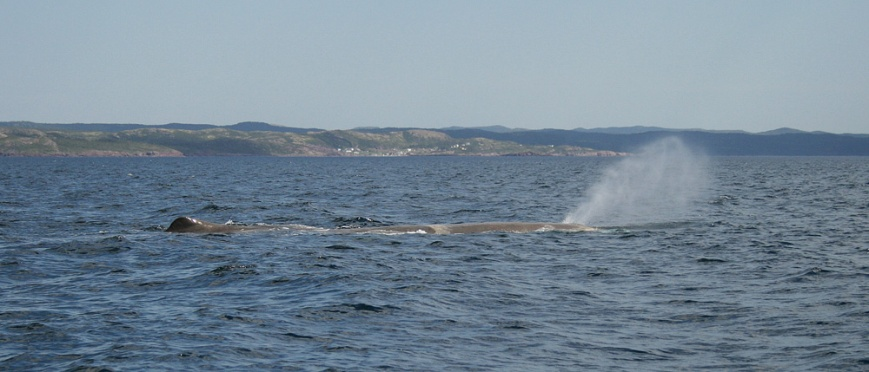 Sperm Whales are the largest of the toothed whales. Males like the ones that hang out around Newfoundland can be more than 50 feet in length, with their huge heads making up for most of that bulk.