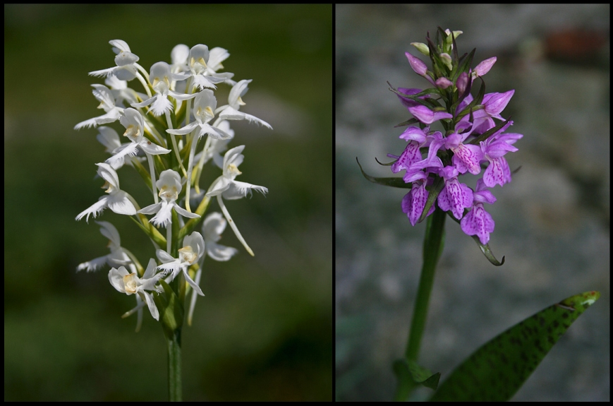 White Fringed Orchid (Platanthera blephariglottis) is locally common, while Marsh Leopard Orchid (Dactylorhiza majalis) is found only in a few select locations around St. John's.