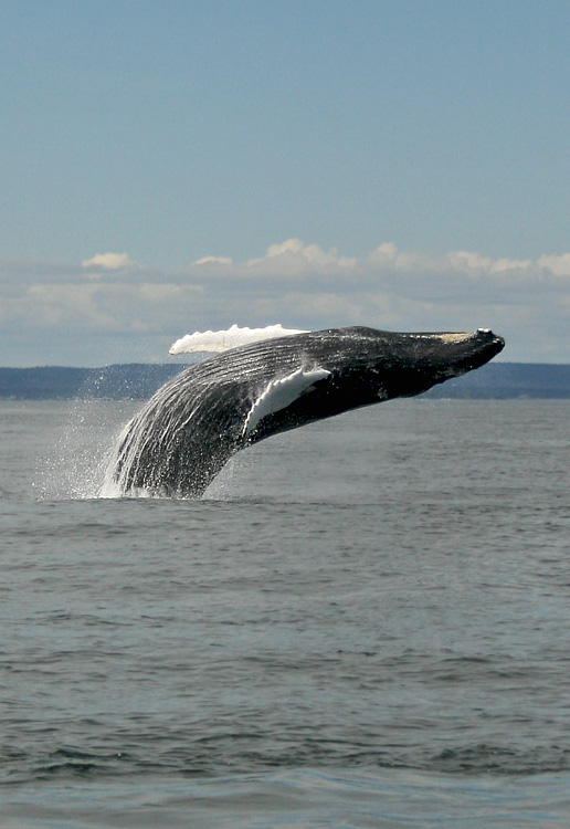 Despite our best efforts to stay focused on birds, the whales sometimes stole the show.