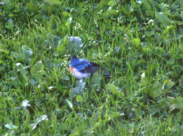This apparent adult male LAZULI BUNTING was photographed in Corner Brook this morning - if confirmed (and this photo pretty much does that), it would mark the first record of this western species for Newfoundland & Labrador!! WOW!!!