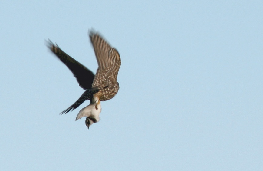 I narrowly missed an awesome (albeit brutal) photo opportunity when this Merlin snagged a plover just metres in front of me -- this is the best I could muster. Photo: Jared Clarke (September 21, 2013)