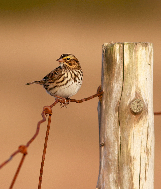 Savannah Sparrows were plentiful along the Cape Race road ... their peak out-migration is still a couple weeks away. Photo: Jared Clarke (September 21, 2013)