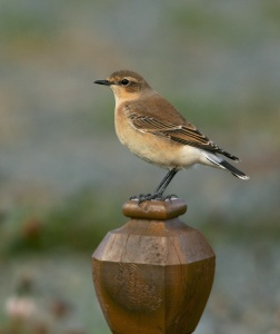 This Northern Wheatear was part of mini-invasion into Newfoundland this fall. - Photo: Jared Clarke (October 10, 2013)