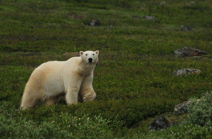 Polar Bears and Black Bears are common in the park. While these animals are exciting to see, bear safety can place some serious constraints on birding activity. - Photo: Darroch Whitaker