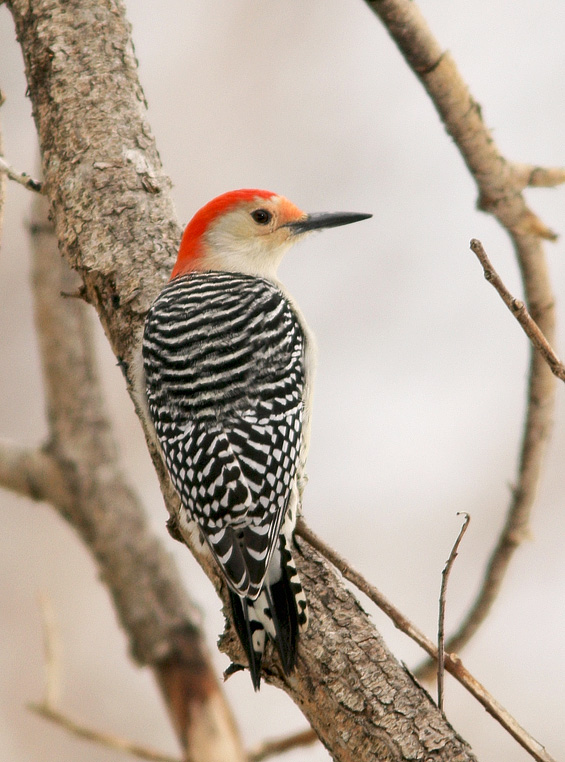 This Red-bellied Woodpecker that spent the winter of 2011-2012 in the lower Rennies River and Bannerman Park, St. John's was the 9th record for the province. - Photo: Jared Clarke (December 20, 2011)