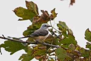 This Scissor-tailed Flycatcher was initially misidentified based on a brief glimpse early this morning. Luckily it was refound and properly identified  - and birders were soon able catch up to it! - Photo: Jared Clarke (Torbay; October 10, 2013)