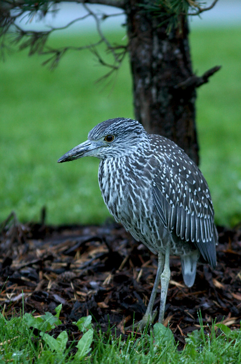 This immature Yellow-crowned Night Heron has been hanging out in Torbay for a couple weeks, While it is pretty much annual in the province, they are usually elusive and this was only my second for the province. - Photo: Jared Clarke (October 5, 2013)