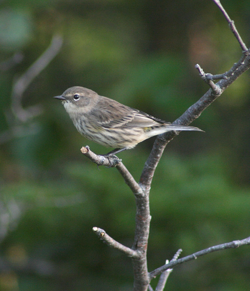 Even Yellow-rumped Warblers start to become scarce in October.