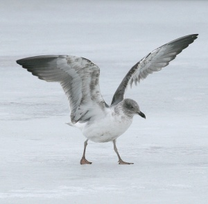 Most Yellow-legged Gulls recorded in Newfoundland have been adults, although this intriguing immature gull is considered by many to have been a second-winter Azorean/Atlantis Yellow-legged Gull. - Photo: Jared Clarke (January, 2008)