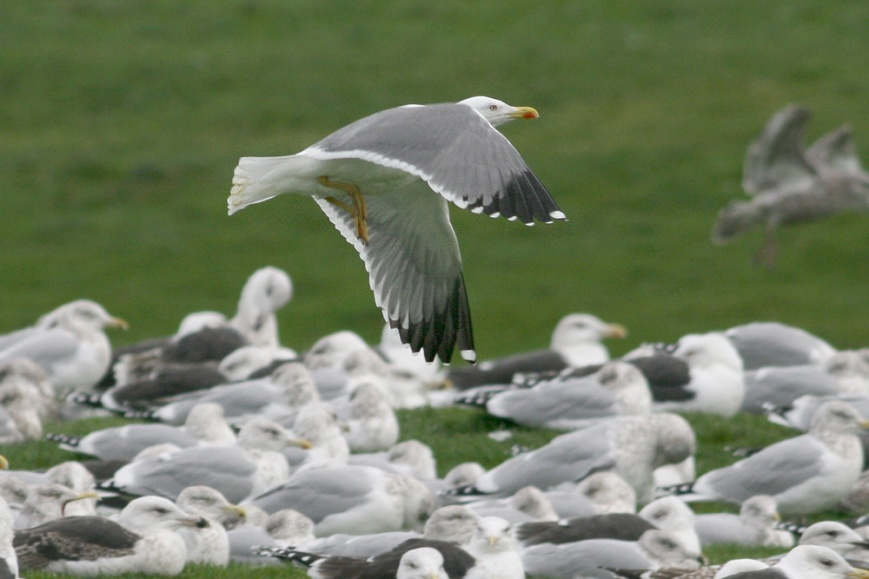 Sometimes it takes experienced eyes to pick out and safely identify a Yellow-legged Gull. Although they can be distinctive among a flock of more typical gulls, there are a few hybrid possibilities that need to be eliminated. The clean white head in winter (or unique pattern of head streaking in fall, see above) and wingtip pattern are important clues to picking out the North American rarity. - Photo: Jared Clarke (December 13, 2009)