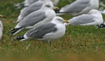The majority (if not all) of Yellow-legged Gulls seen here have been theorized to originate from the Azores, where the Atlantis race has a slightly darker mantle and unique pattern of head streaking in fall/early winter. - Photo: Jared Clarke (December 3, 2010)