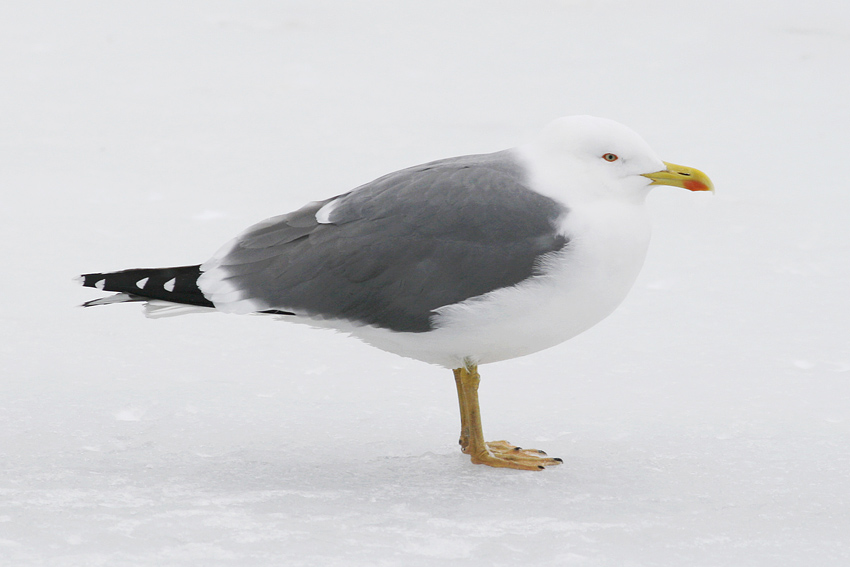 Yellow-legged Gull  (this adult photographed in February 2010) was a rare but regular fixture in St. John's every winter for more than a decade ... however it had been almost two years since the last sighting. Until this morning! - Photo: Jared Clarke (February 14, 2010)