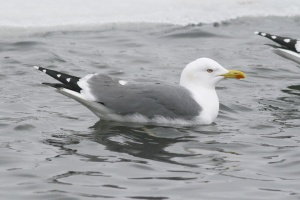 Winter is also prime gull season in St. John's. Hopefully the Yellow-legged Gull that has been seen recently hang out - it's always a winter highlight for local and visiting birders alike! - Photo: Jared Clarke (February 14, 2009)