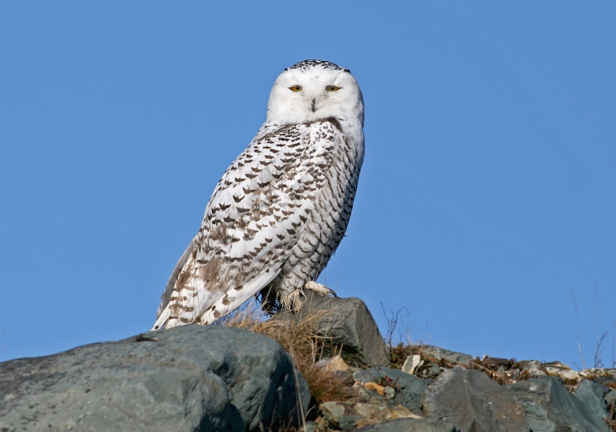 This young Snowy Owl was one of several I had the pleasure of enjoying on Cape Race road in November 2008. Beautiful!! - Photo: Jared Clarke (November 14, 2008)