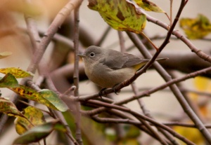 This Virginia's Warbler, originally discovered on November 14, 2013 marked the first (and very exciting) record for the island if Newfoundland. It remained elusive during the first few days, frustrating a number of birders - myself included! - Photo: Jared Clarke (November 16, 2013)