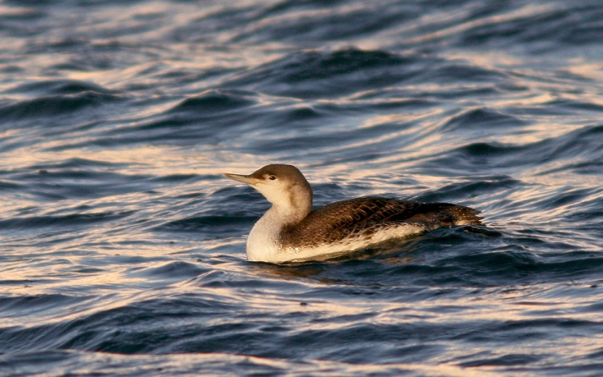 Red-throated Loons are uncommon in most of Newfoundland, especially on the Avalon Peninsula. Seeing this one at close range right in St. John's harbour was a little Christmas surprise. - Photo: Jared Clarke (December 26, 2013)