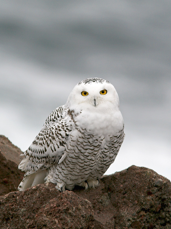 Snowy Owls have been making waves among birders all across eastern North America lately. A few, like this one sitting on the easternmost rocks in North America, having been entertaining birds and non-birders alike at Cape Spear. - Photo: Jared Clarke (December 7, 2013)