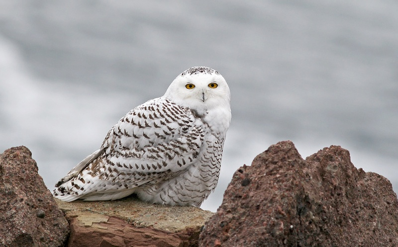 Snowy Owls often show up in late fall and winter to hunt along our coasts.