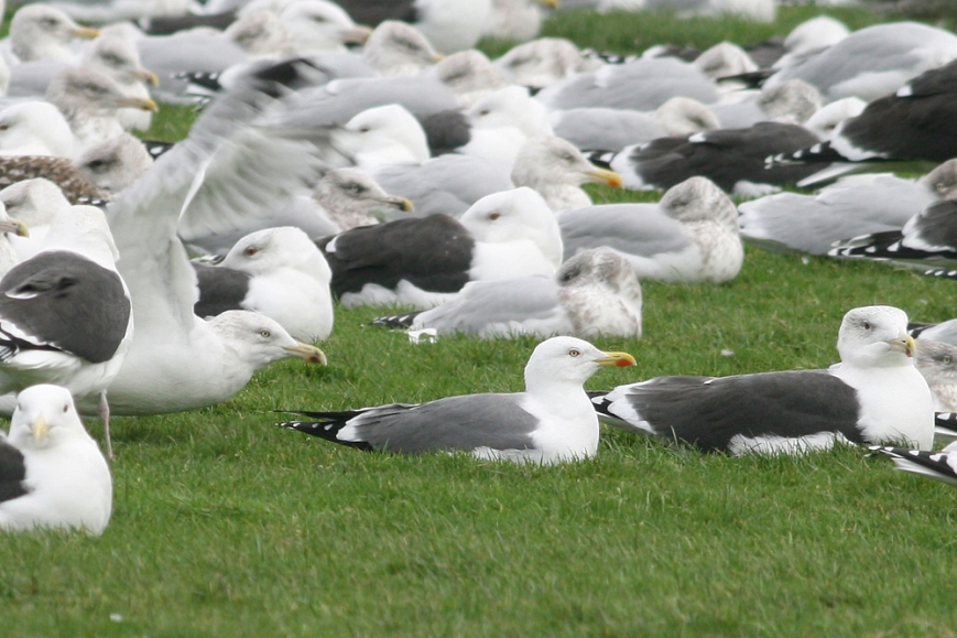 "Although yesterday's Yellow-legged Gull was much too distant for photos, this one (photographed at the same location and similar date several years ago) shows that ""magic shade of grey"" and clean white head that first caught my attention and helped it stand out amongst a myriad of other gulls. The mantle is intermediate between Herring and Lesser Black-backed Gull, and combined with other features like unique head shape, thick, blunt bill and large red gony spot, helps an experienced pick out this needle-in-a-haystack rarity. - Photo: Jared Clarke (December 13, 2008)"