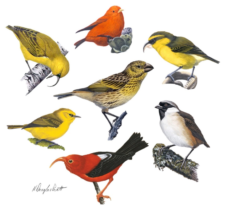 This illustration, from a recent cover of the journal Current Biology (November 2011) shows a selection of the very unique and specialized honeycreepers that evolved on and are/were endemic to the Hawaiian archipelago. - Image: H. Douglas Pratt