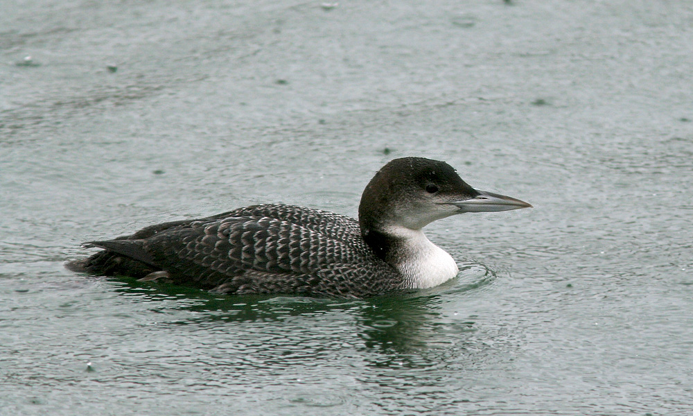Common Loons Winter Along The Coast Of Newfoundland We Saw Many Of Them During Our