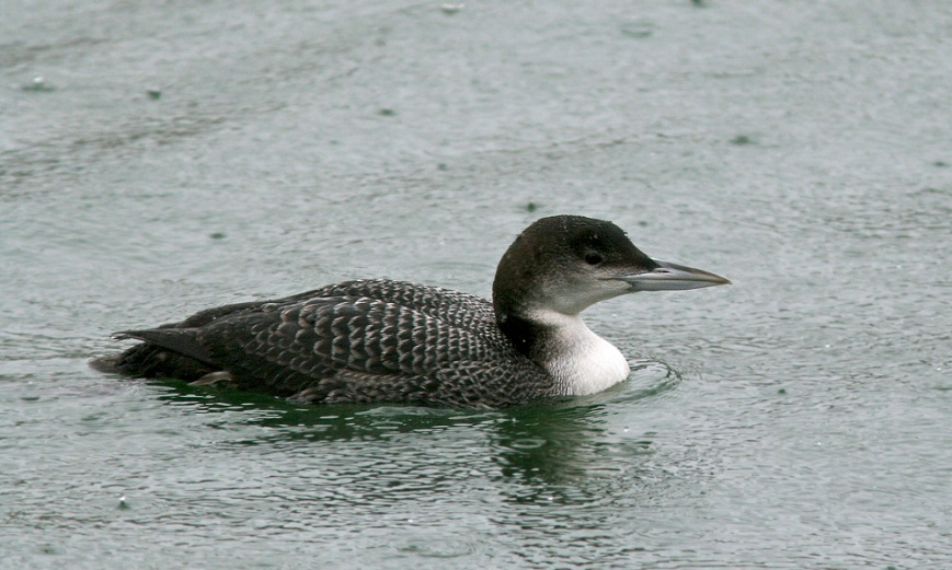 Common Loons winter along the coast of Newfoundland - we saw many of them during our week. - Photo: Jared Clarke