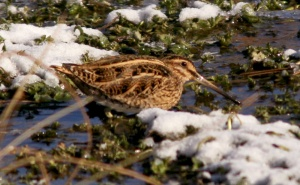 This COMMON SNIPE at Ferryland marks the third record of this European species for the province and all of eastern North America! - Photo: Jared Clarke (January 25, 2014)