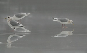 """Great, close-up views at thousands of gulls were just part of the fun during this tour. Ten species were seen, including well over 2000 of these stunning """"Kumlien's"""" Iceland Gulls. - Photo: Jared Clarke"""