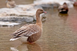 Pink-footed Goose. This popular bird marked an impressive eighth record for Newfoundland. - Photo: Jared Clarke (April 20, 2013)