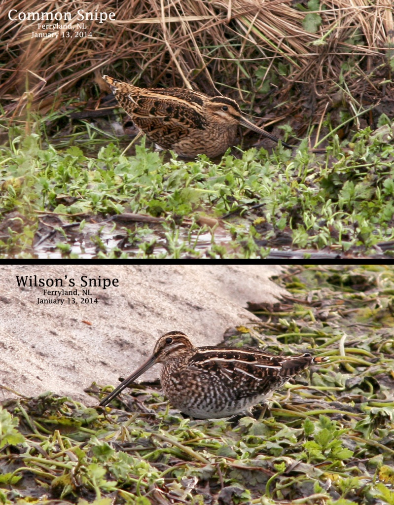 A comparison of the mega-rare COMMON SNIPE and the more expected Wilson's Snipe, it's North American cousin. Both were seen and photographed just metres apart in Ferryland on the very first morning of the tour! - Photos: Jared Clarke (January 13, 2014)