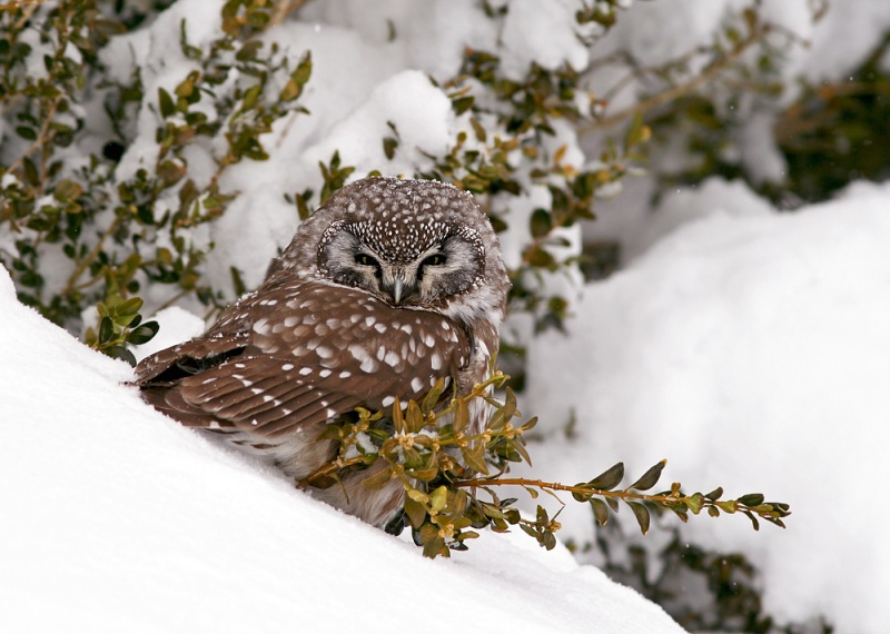 "Boreal Owls are definitely one of my favourite birds. They are known for visiting residential neighbourhoods in mid-winter, when deep snow has impacted their traditional hunting areas in ""the bush""."
