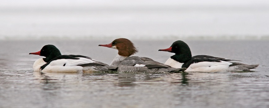 Photo opportunities with Common Mergansers are few and far between ,since they usually stick to larger patches of open water and are very wary. A small group making regular visits to Quidi Vidi have been becoming more tolerant of people and allowing some great looks. - Photo: Jared Clarke (February 22. 2014)