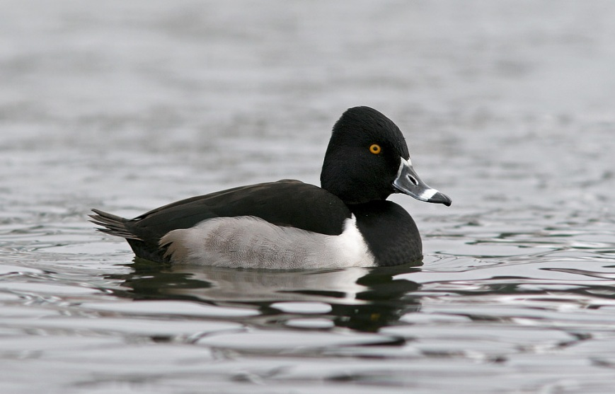 Ring-necked Ducks breed in Newfoundland, but are rarely easy to photograph. This drake has been hanging out in the relatively small patches of open water at Quidi Vidi since early February. - Photo: Jared Clarke (February 22. 2014)