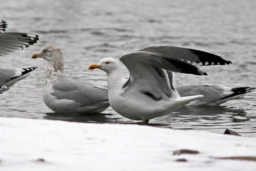 Note the single white mirror on P10 and the extensive black in the wingtip of this Yellow-legged Gull (especially compared to the Herring Gull wingtip visible at far left). - Photo: Jared Clarke (February 22. 2014)