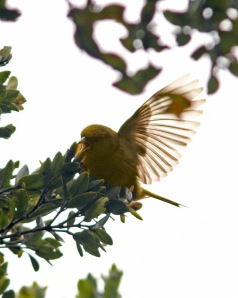 Although putting on a great show, this rare Akeke'e was very difficult to photograph high in the ohia canopy.