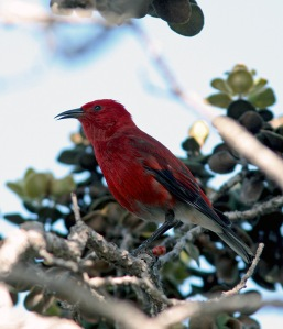 Apapane are perhaps the most common and widespread honeycreeper in Hawaii. These energetic, brilliant red birds occur on all the main islands.