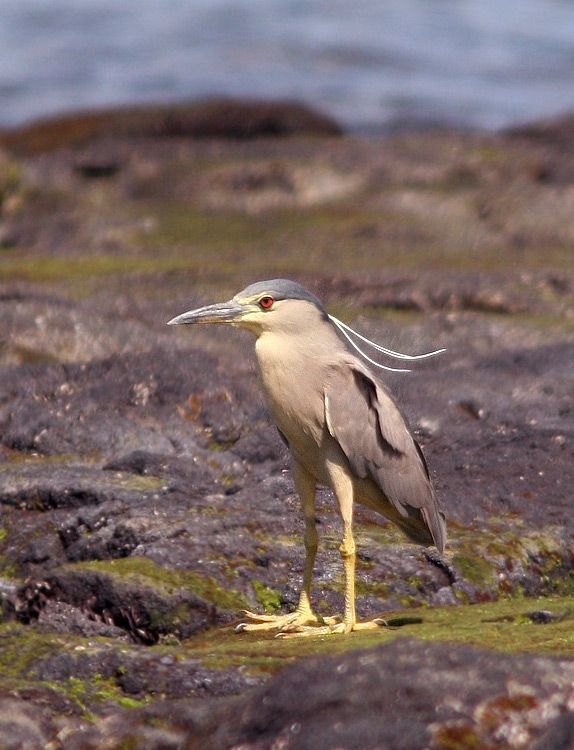Black-crowned Night Herons (Auku'u) are native to Hawaii, having colonized the islands before people.