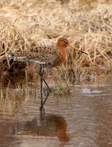 "The ""event"" started with two Black-tailed Godwits discovered in Renews, and just kept growing over the next two weeks."