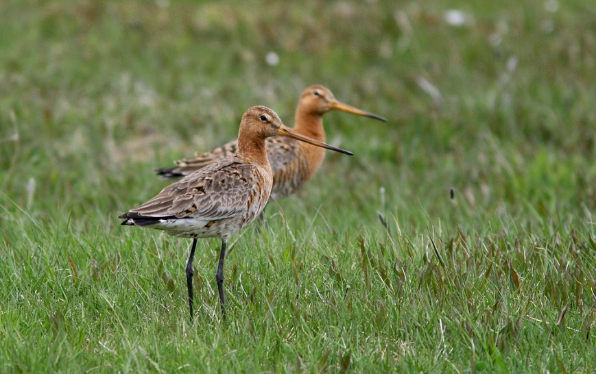 These two Black-tailed Godwits, which showed up on the Bonavista peninsula in May 2011, mark the only other record of multiple birds in Newfoundland.  - Photo: Jared Clarke (May 25, 2011)