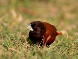 The tiny but brilliantly coloured Chestnut Munia was one of my favourite introduced species in Hawaii.