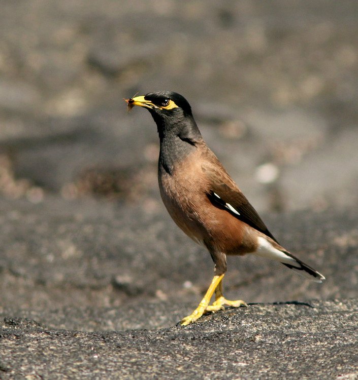 Common Myna is another common, introduced species of the Hawaiian Islands. They can be seen just about anywhere, but I like this photo of one walking around on the lava as it meets the sea at Honokohau harbour, Kona.