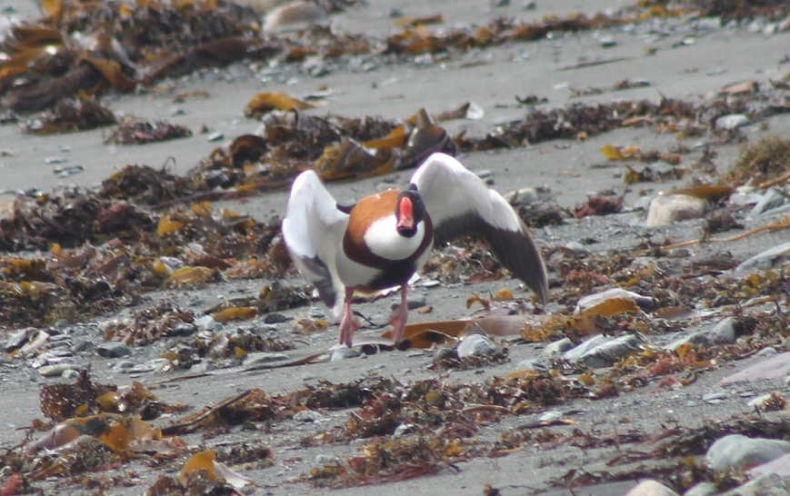 This drake COMMON SHELDUCK was discovered this afternoon, feeding along the tidal flats in Renews. It was very wary and flew off when the photogrpher stepped out of his car - hopefully it will be refound!! - Photo: Tony Dunne (April 2, 2014)