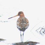 One of two Black-tailed Godwits photographed in Renews today. - Photo: Tony Dunne (April 25, 2014)