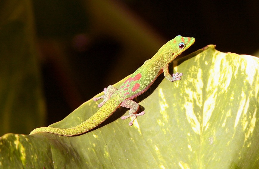 Each morning, smart-looking Golddust Day Geckos could be found sunning themselves on large leaves near our hotel.
