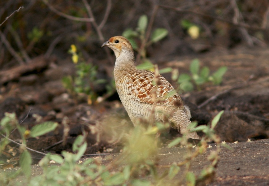 Gray Francolin were found skulking in the underbrush along the trail at Honokohau Bay.